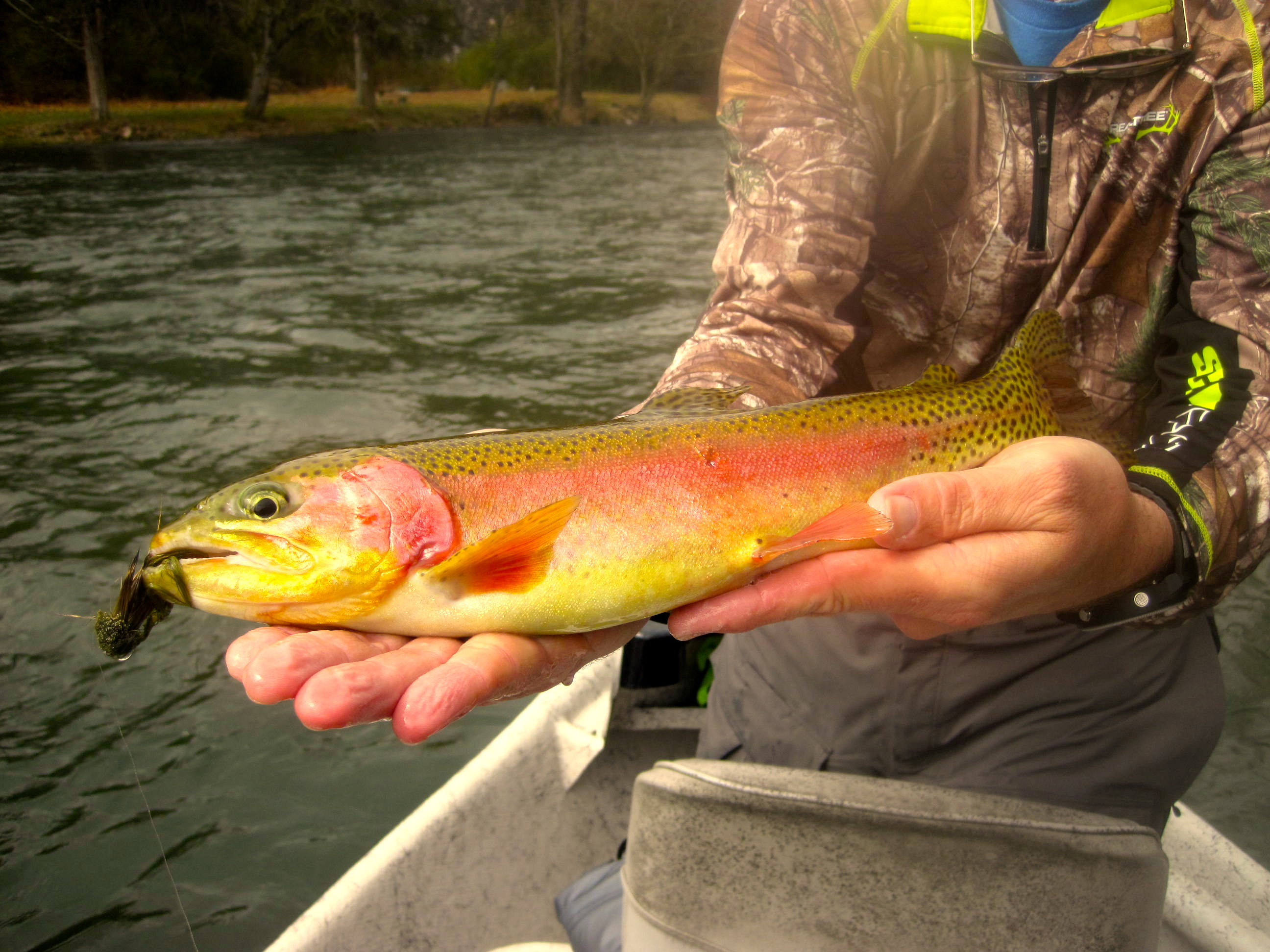 South holston river rainbow easternflyoutfitters for South holston river fishing report