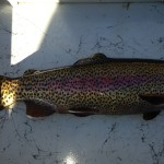 Beautiful Watauga river rainbow trout
