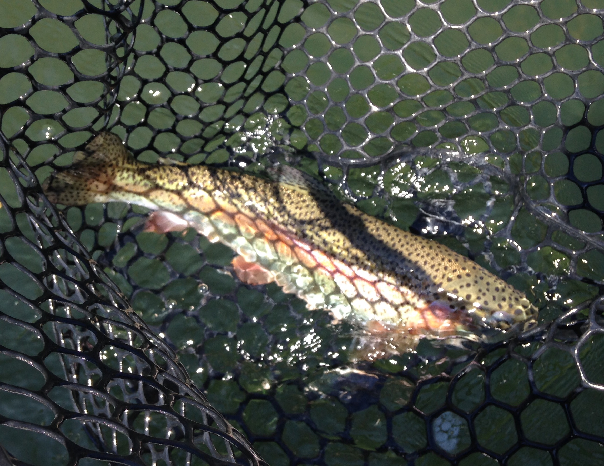 One of Diane's Watauga river rainbow trout